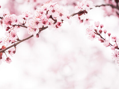 Kirsikankukat symboloivat äitienpäivää Hotel Mattsin majoitustarjouksessa Espoossa